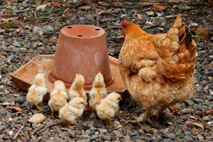Glucke mit Küken an Tränke , Verhalten von Zwerghühnern, Lautäußerungen