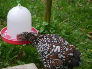 Zwerghühner trinken an Hühnertränke, Stülptränke, Geflügeltränke, Wasserspender für Geflügel, Hühnerhaltung