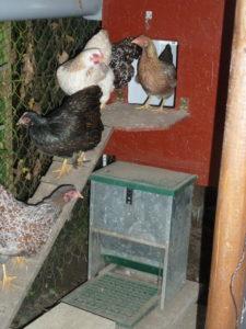 Zwerghühner auf Hühnerleiter, Hühnertreppe für Hühnerstall selber bauen