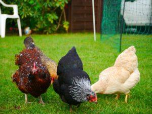 Federpicken und Eierfressen können zum Probleme beim Zwerghuhn werden, Hühnerhaltung Zwerghühner