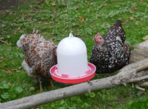 Zwerghühner an Tränke, Trinkwasserimpfung, Zwerghühner impfen, Newcastle-Krankheit, Hühnerhaltung