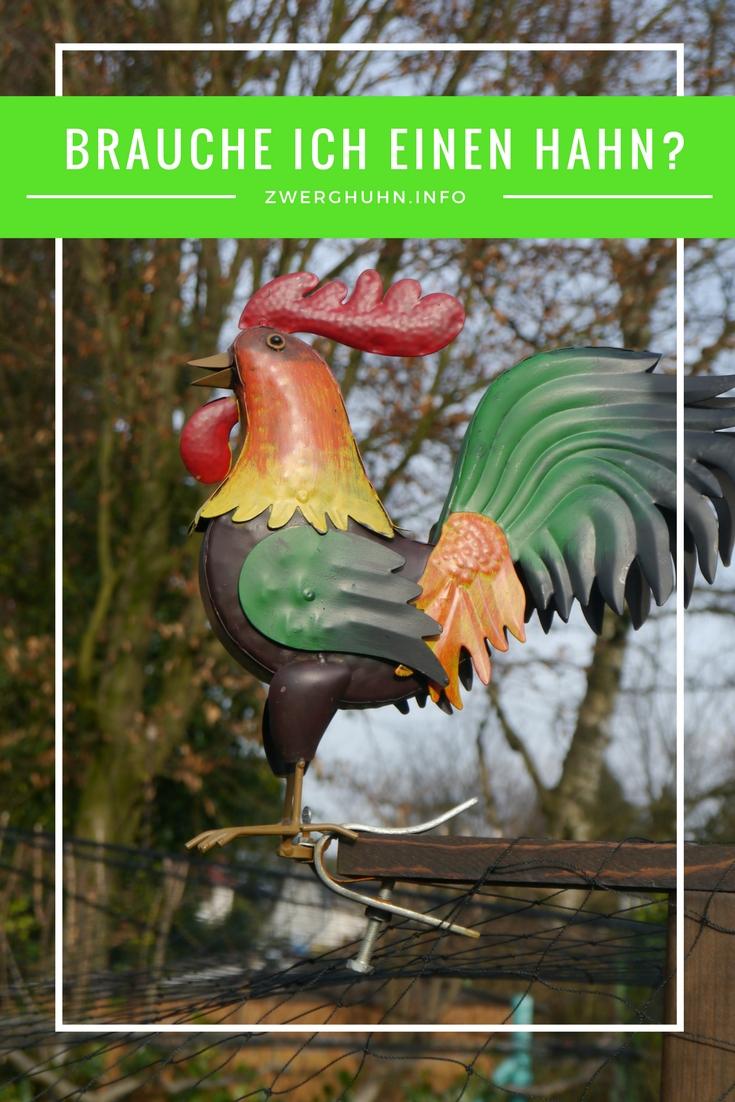 Ist ein Hahn in der Hühnerhaltung notwendig? Vorteile und Nachteile