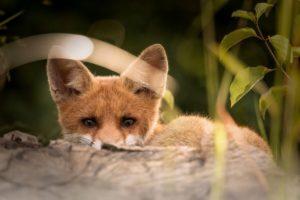 lauernder Fuchs - Bodenfeind der Hühner, Feinde von Zwerghühnern