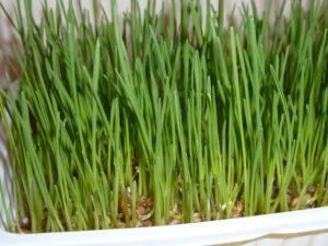fertiges Weizengras, kann an Hühner verfüttert werden