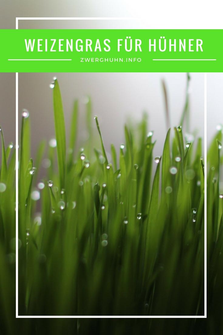 Gras für Zwerghühner selber machen