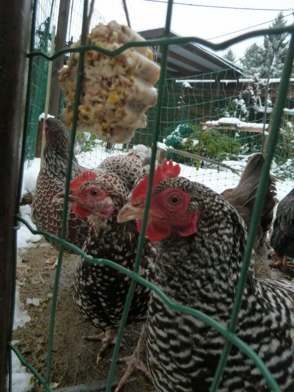 Zwerghühner fressen selbstgemachten Hühnerknödel