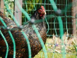 mobiler Hühnerzaun für die Hühnerhaltung
