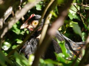 Bei Hitze schützt sich das Huhn gegen Sonne unter Büschen