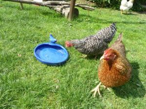 Vogeltränke als Fussbad für Hühner zur Abkühlung bei Hitze