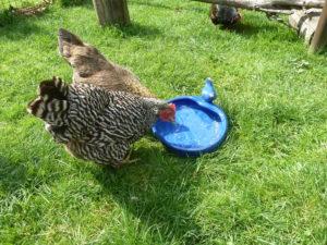 Überhitzung bei Hühnern vermeiden durch Fußbad