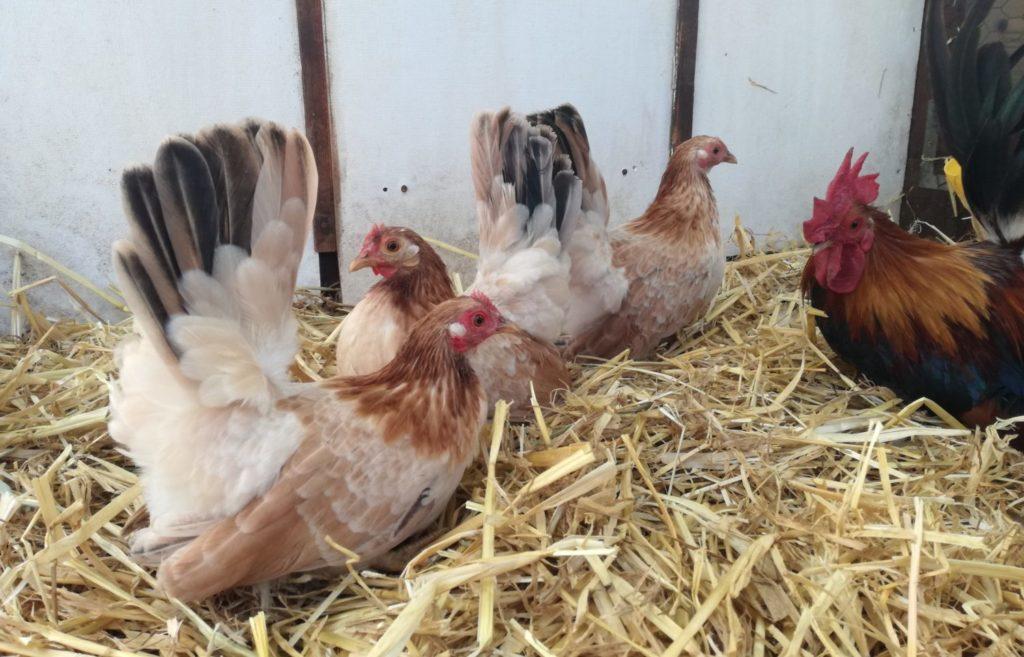 Zwerghühner kaufen Geflügelzuchtverein