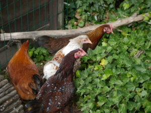 Welche Zwerghühner kaufen?